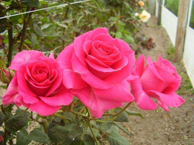 Montage - Las flores mas hermosas