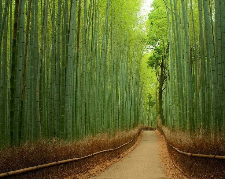 The Bamboo Forest, Arashyama Park, Kyoto Japan