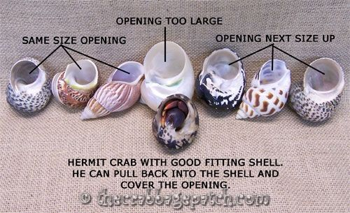 Hermit Crab Shell Selection -  and Everything For The Land Hermit Crab Enthusiast