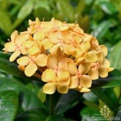 Ixora 'Gold Malay', summer glow, we are just loving Ixoras this summer.