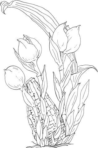 Anguloa Ruckeri u Orquídea Tulipán Dibujo para colorear. Categorías: Orquídea. Páginas para imprimir y colorear gratis de una gran variedad de temas, que puedes imprimir y colorear.