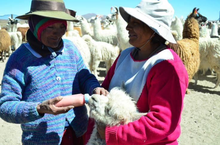 Nicasia Calisaya alimentando a una cría de alpaca con leche con maíz, junto a su hija María.
