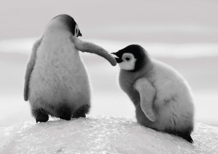 Two baby penguins helping each other climb an icy slope in Snow Hill, Antarctica.Picture: David Yarrow/Clearview/PA
