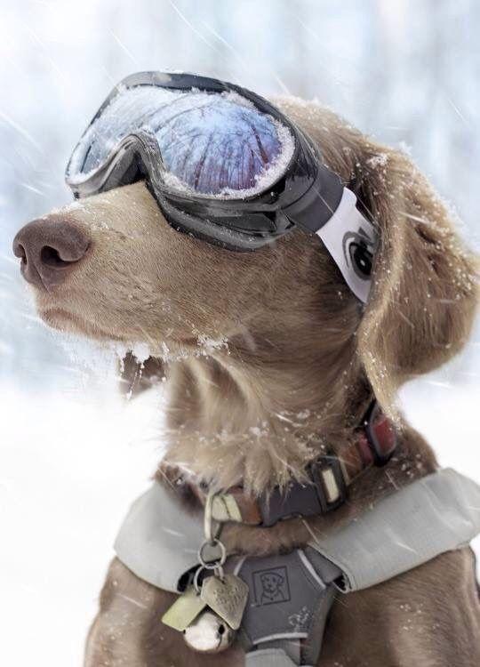 Dieser Weimaraner hat trotz Schneegestöber den absoluten Durchblick. :)