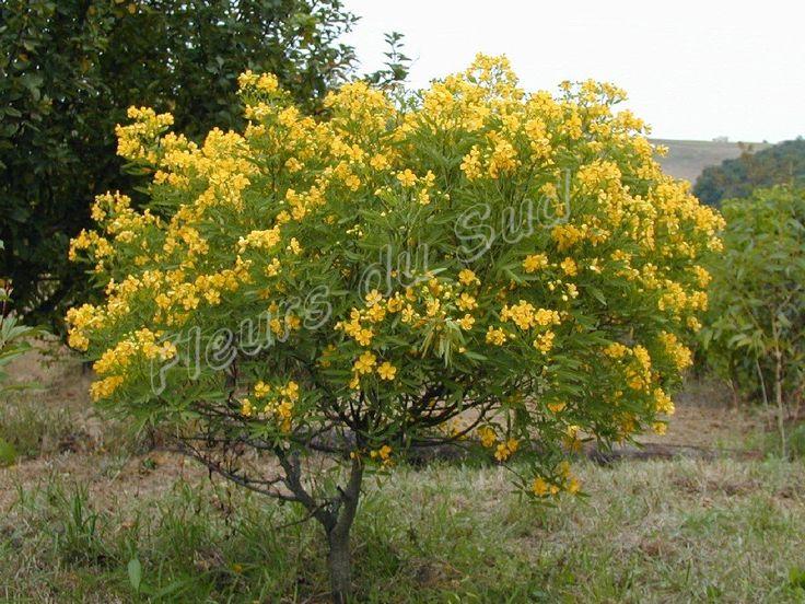 arbustos nativos Sen de campo Senna corymbosa