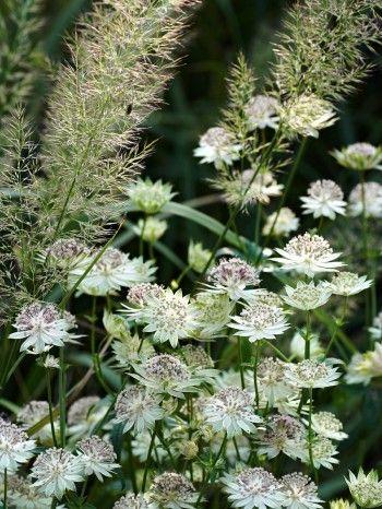 Stjärnflockans, Astrantia major ssp. involucrata 'Canneman', Calamagrostis brachytricha