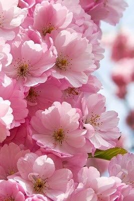 Cherry Blossoms. rise and shine my peeps