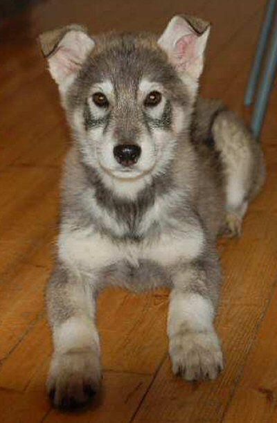 Tamaskan Wolf Dog Puppies | www.imgkid.com - The Image Kid ...