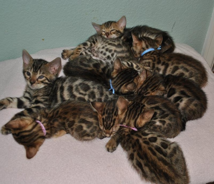 So cute!  Bengal Kittens for adoption at ASPENGOLD BENGALS in Colorado