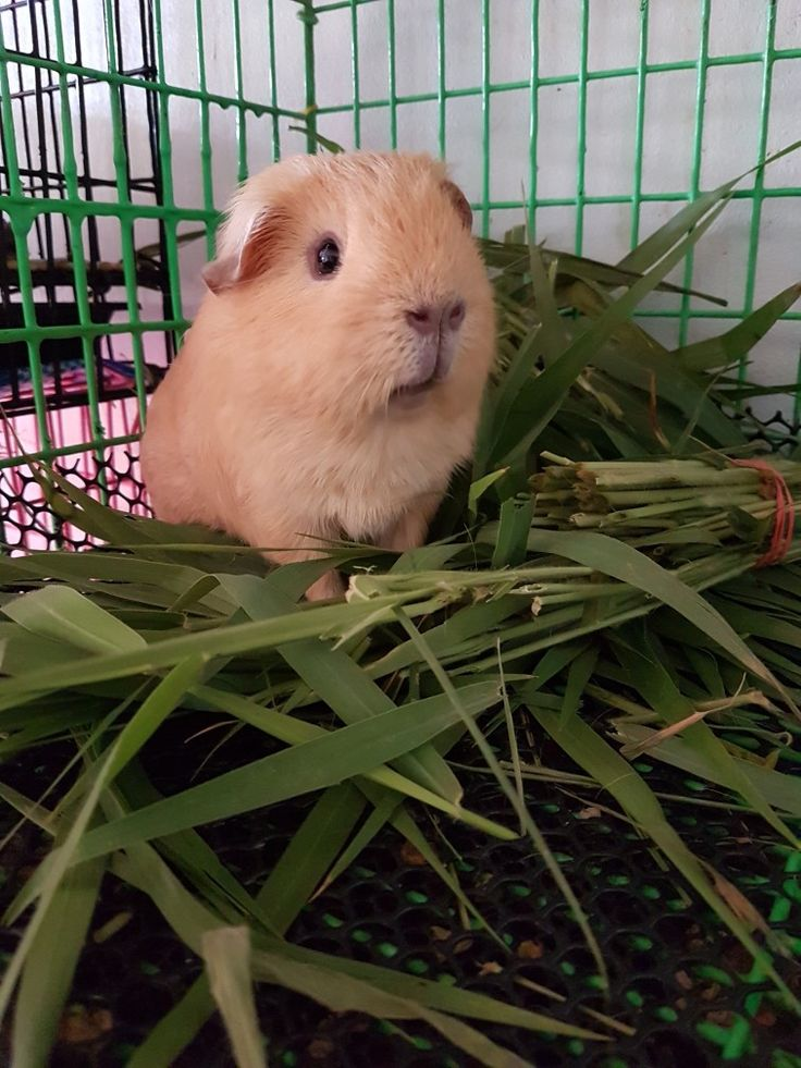 Guinea pigs should NEVER be on a wire-bottomed cage. They will get bumblefoot. A very painful condition.
