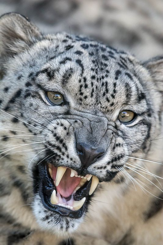 Snow leopards can jump and pounce on prey that's as far as six times their body length.