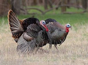 Wild Turkey population in Virginia.   Daily Virginia Trivia sponsored by Simplicity VoIP.  Fun Facts about Virginia.