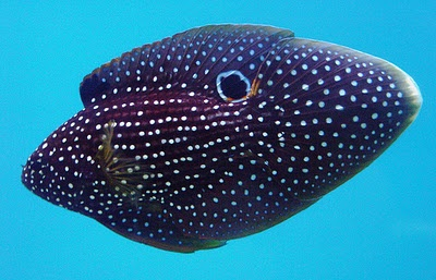 The Comet Grouper or Calloplesiops altivelis is a popular aquarium fish that is sometimes referred to as the Marine Betta.