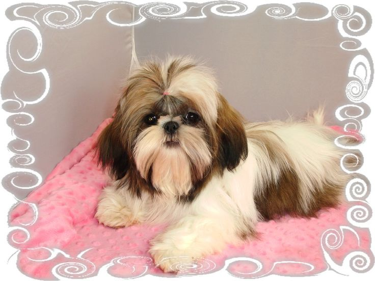 Robbins Nest of Shih Tzus - Michigan Shih Tzu Breeder —