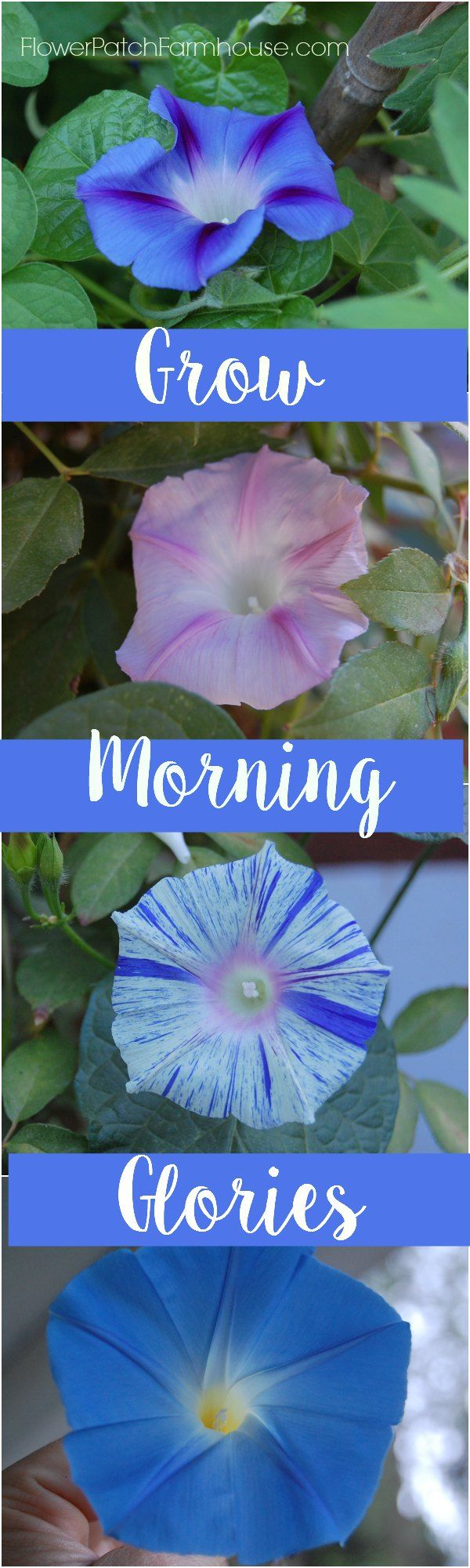Grow Morning Glories in your garden, cover an ugly fence, bare wall or create a privacy trellis. FlowerpatchFarmhouse.com