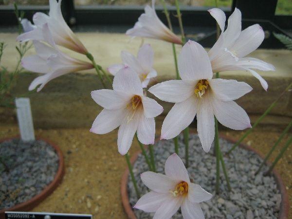 Habranthus martinezii - plant of the month August 2011 - Plant Portraits - Alpine Garden Society