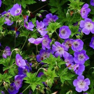 17 meilleures id es propos de geranium vivace sur for Entretien plantes vivaces