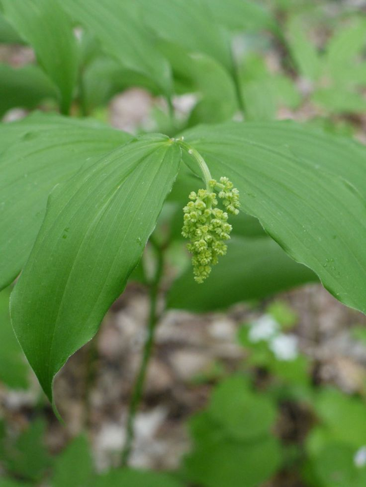 best 96 native plants of the pnw images on pinterest