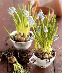 Sipulikukat voi istuttaa vanhoihin astioihin – Kotiliesi