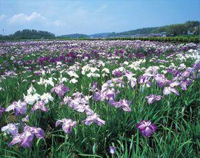 Kitagata Lakeside Iris Garden