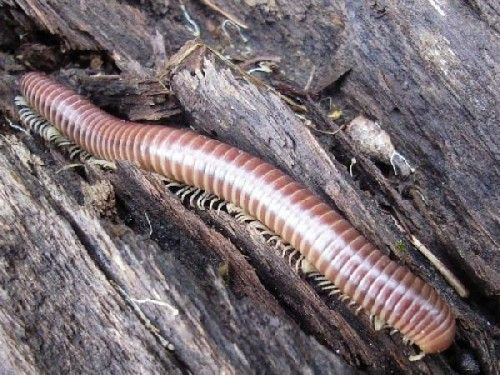 Picada de Piolho de Cobra