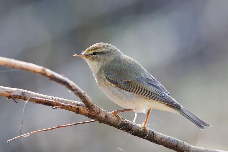 https://flic.kr/p/F2yxJT   Willow warbler - I think   I normally wouldn't have posted this as it was a bit blurry before I reduced the size to disguise it, but it makes an interesting comparison with the previous one of a chiffchaff. It was taken just a few yards away and an hour later, and I'm fairly sure this one is a willow warbler. They look so similar but this has much paler legs, longer primary feathers and a slightly more prominent eye stripe. The songs are easy to tell apart, but…