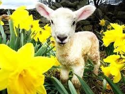 daffodils lambs - Google Search