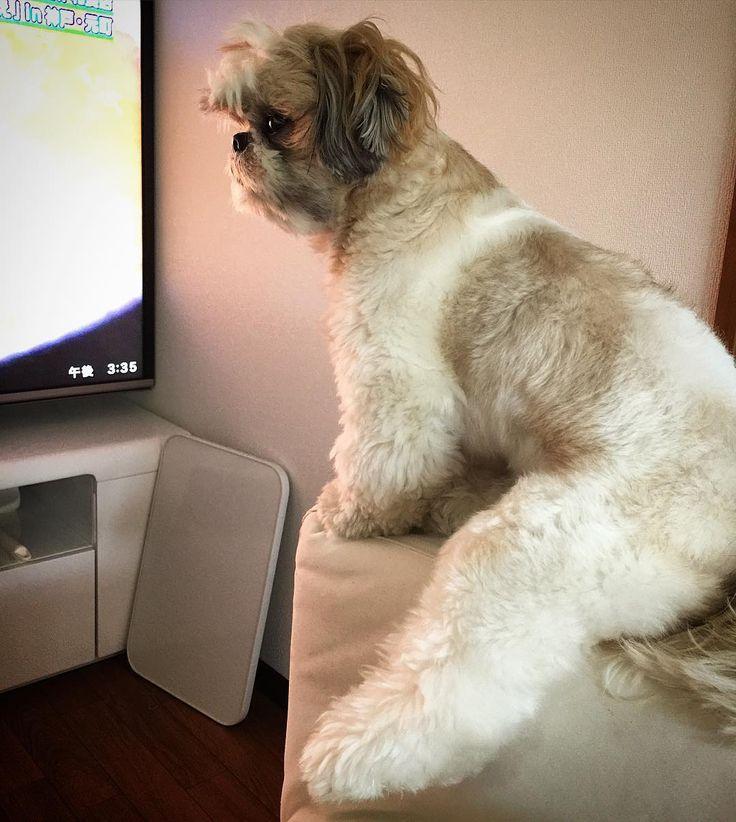 うちのマユちゃんソファの肘掛けにこんな感じに座ってテレビを見るのが日課ですw ( U(ェ)) #シーズー #愛犬まゆげ by mayuge0807