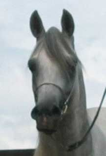 élevage de chevaux pur-sang arabes, Alsace, Mutz Arabians