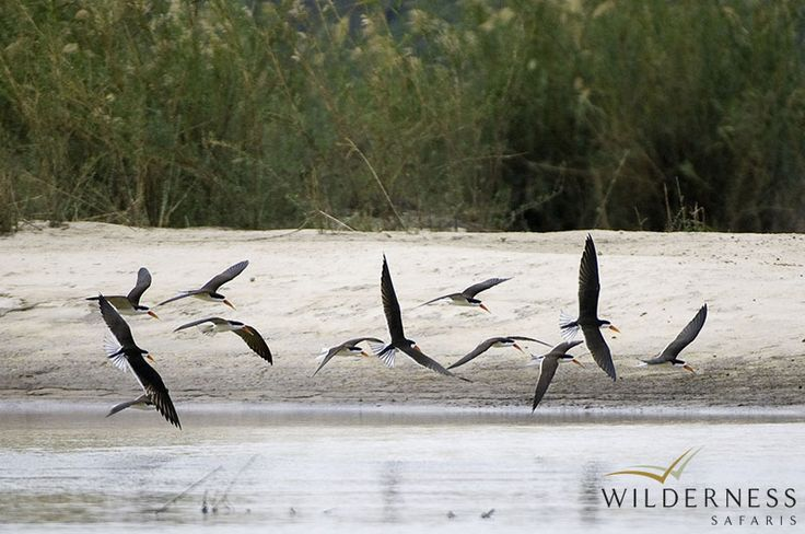 The River Club - when the water level drops on the Zambezi River, the exposed sand banks create the ideal nesting areas for African skimmers. #Safari #Africa #Zambia #WildernessSafaris