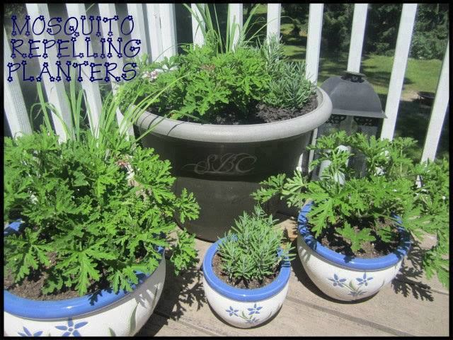 Mosquito Repelling Planters----Citronella, Lemongrass, Lavender and fever-few are all natural mosquito repellants.Keep your deck or patio free of mosquito's by planting several pots with these plants and placing them around seating areas . They smell great and are useful too!!!