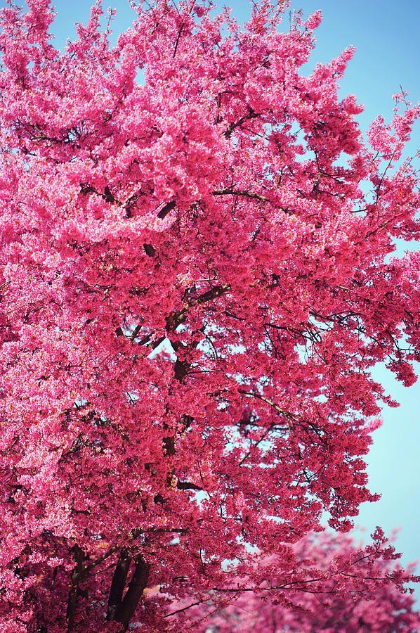 Abundant Pink Bloom Of Prunus Tree by Jenny Rainbow