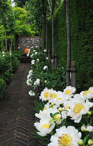 Peony row backed by arborvitae hedge and gorgeous herringbone brick walk