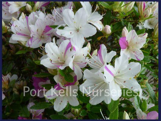 Rhododendron kiusianum 'Sai no Matsuzaka'