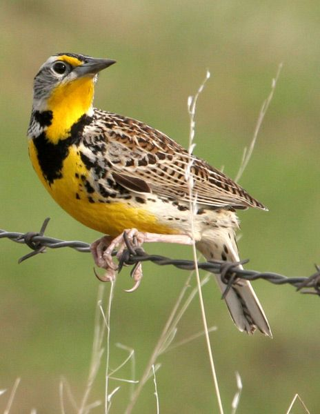 Kansas State Bird - Meadowlark