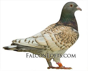Rare Colored Racing Homers, Homing Pigeons For Sale | Falcon Lofts