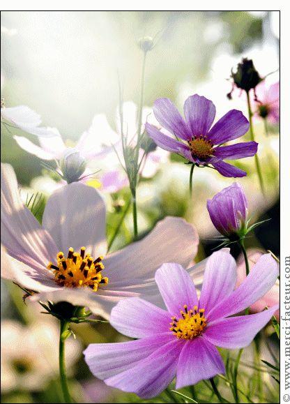 Carte Cosmos violettes pour envoyer par La Poste, sur Merci-Facteur !