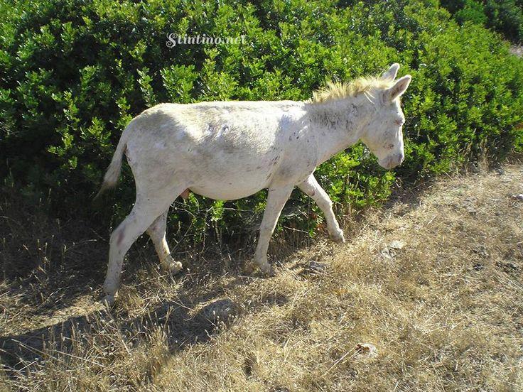 ANIMALI SELVATICI DELLA SARDEGNA. Tra gli animali che si possono considerare un simbolo della Sardegna c'è sicuramente l'asino e in particolare va ricordato l'Asinello Albino dell'Asinara, riscontrabile solo su quest'isola.