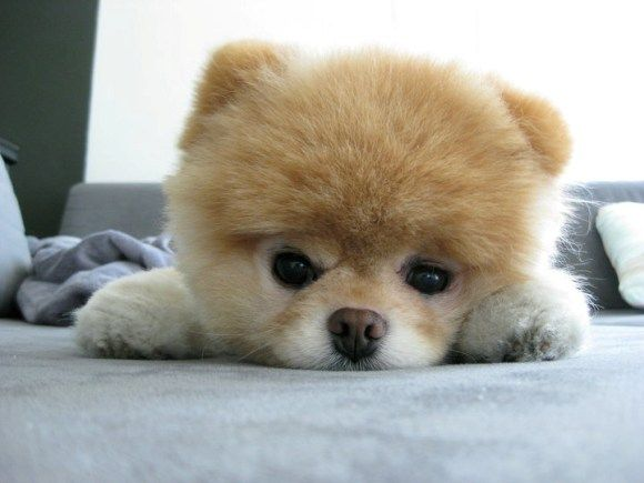 Boo The Dog is a puppy that has been shorn to look like a teddy bear :) Me likey ALOT!!! :D i WANT THIS DOG!!!