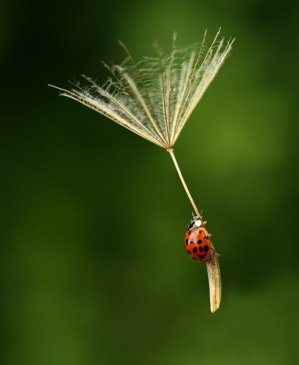 ladybug on a floating dandelion seed
