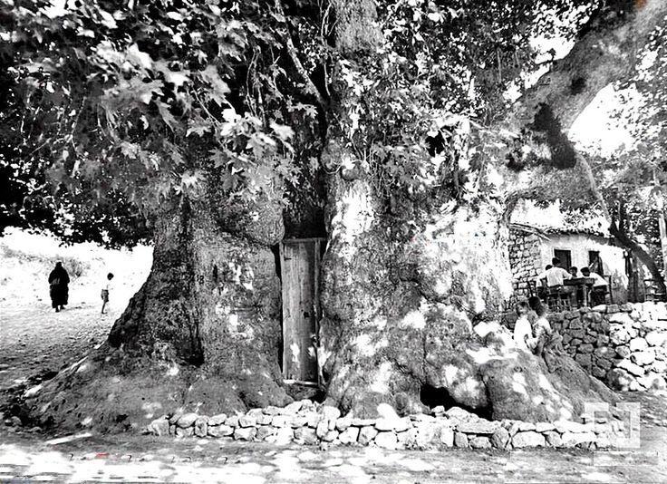 Hatay Hz Musa Ağacı 1950'ler