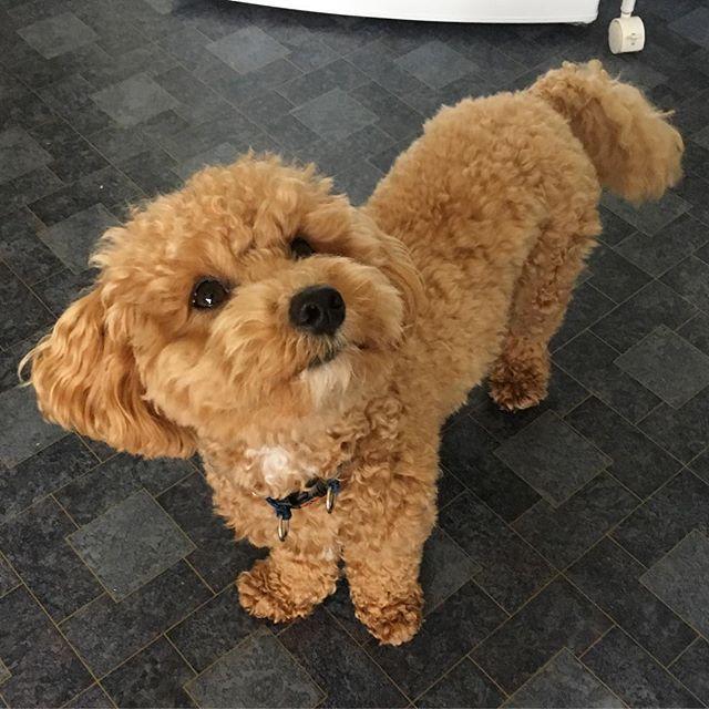 Please Can We Play Now Sundayfunday Playtime Pleeeease Dogswithbeards Whitegoatee Poochon Poochonbuddy Poochon Dog Toy Dog Breeds Cute Puppies