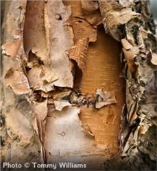 River Birch (betula nigra) - zones 4-9, grows to a height of 40–70' and a spread of 40–60' at maturity