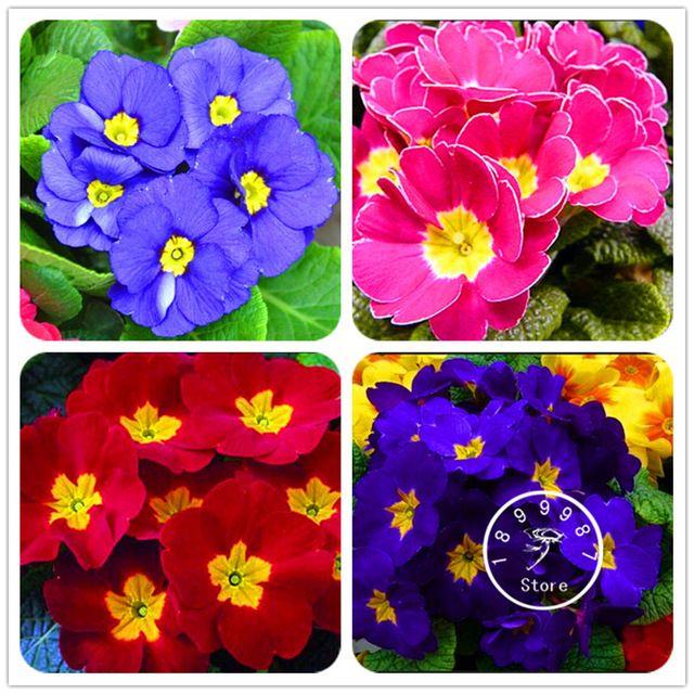 Wielka Wyprzedaz 100 Sztuk Worek Chiny Rzadko Primrose Nasiona Kwiatow Bonsai Nasion Primula Malacoides Latwa W Uprawie Rare Flowers Flower Seeds Tea Store