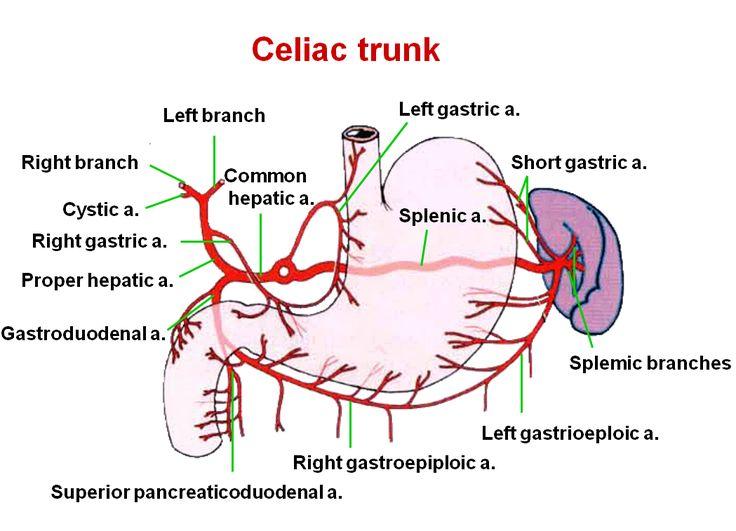 Celiac Trunk Branches Diagram
