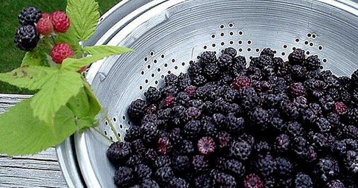 Las frambuesas ayudan a prevenir el cáncer y evitan la degeneración de células y órganos. ¡Mejor si son de nuestra propia cosecha!