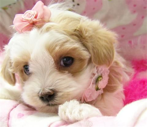 shih tzu puppies rescued 14 best shih poo images on pinterest poodles shih poo 7743