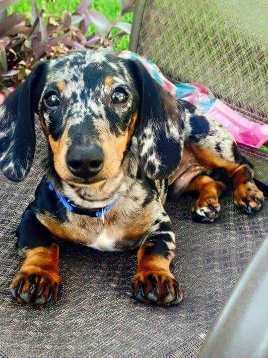 Pin By Makalah Trent On Dapple Dashhound Dachshund Dog