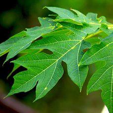 Manfaat Daun Pepaya Sebagai Obat Herbal Rematik http://www.perutgendut.com/videos/view/manfaat-daun-pepaya-sebagai-obat-herbal-rematik/281 #Food #Kuliner #News #Health #Video