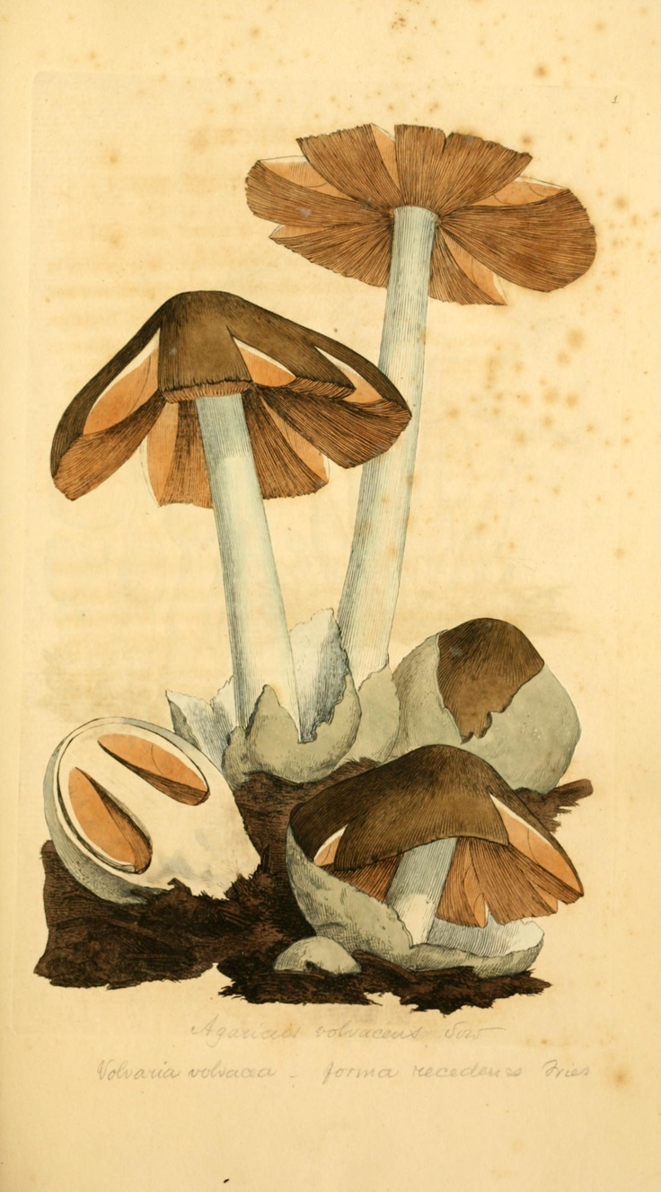 Fungi. Coloured figures of English fungi or mushrooms London,Printed by J. Davis,1797-[1809] Biodiversitylibrary. Biodivlibrary. BHL. Biodiversity Heritage Library